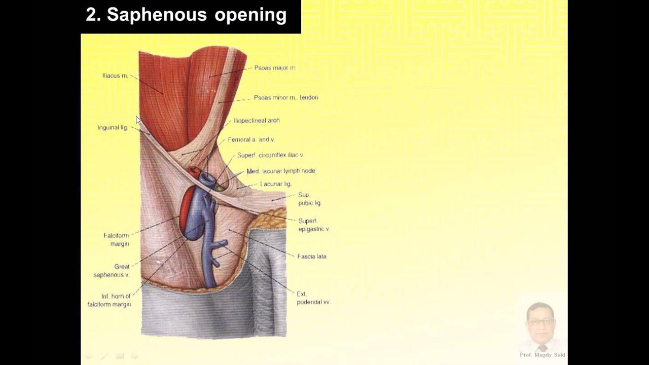 Magdy Said Anatomy Serieslower Limbdeep Fascia Of The Thighv1