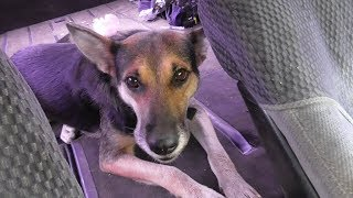 Спасение собаки от отравления дитилином