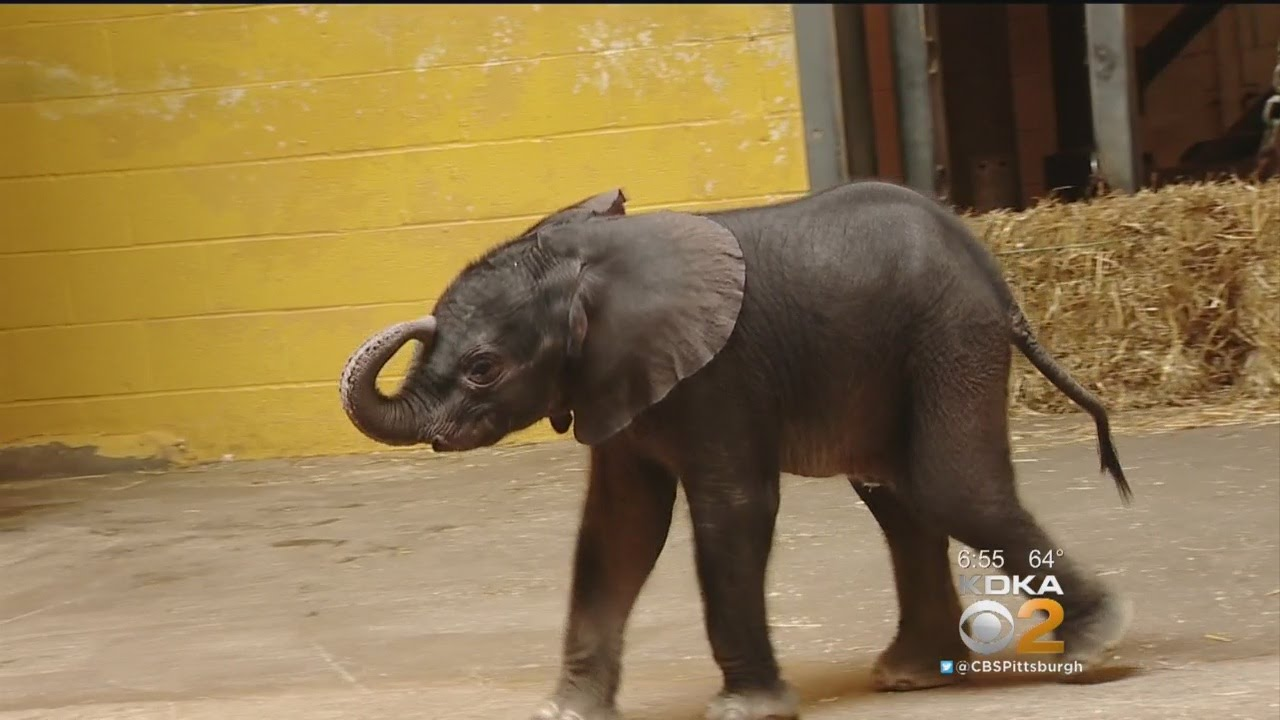 Pittsburgh Zoo Welcomes Baby Elephant A Month Early