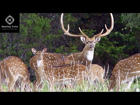 Axis Deer Hunting Videos In Hawaii