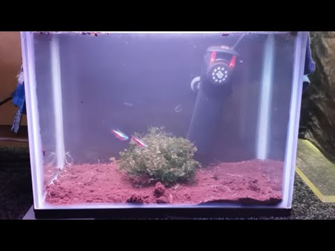 HOW TO BREED CARDINAL TETRAS FROM SPAWN TO FREE SWIMMING