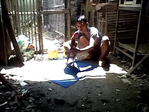 Cara Melatih ayam Bangkok Menjadi Petarung Handal
