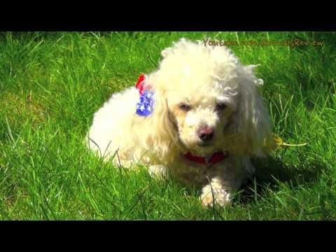 White Mini Poodle Toy Dog Sitting Outside