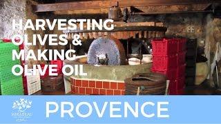 Harvesting olives and making olive oil