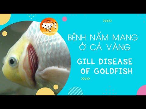 BỆNH NẤM MANG Ở CÁ VÀNG (Gill Disease of Goldfish)   ĐAM MÊ CÁ VÀNG