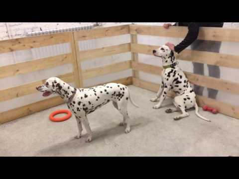 Dalmatian dogs mono-breed show