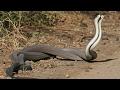 çiftleşen yılanların dövüşü yılanların kavgası yılanların dansı nasıl olur iki kara yılanla belgesel