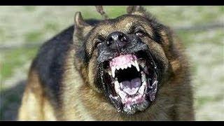 German Shepherd Attacks Poodle Puppy