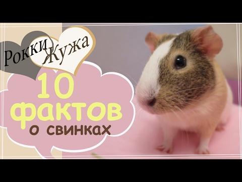 Сколько пальцев и где хвост? 10 фактов о морских свинках. 10 facts on guinea-pigs.
