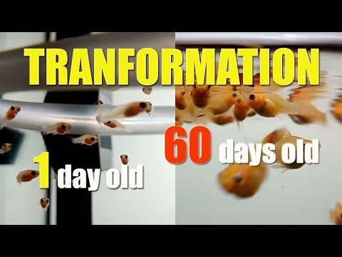 MOLLY BALLOON Fish TRANSFORMATION  From 1 To 60 Days Olds