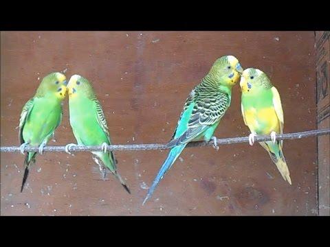 Cute Love Birds Mating