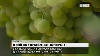 В Дойбанах начался сбор винограда