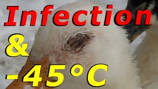 Treating A Duck Eye Infection & -45°C Tonight #58 Wintering Ducks & Geese