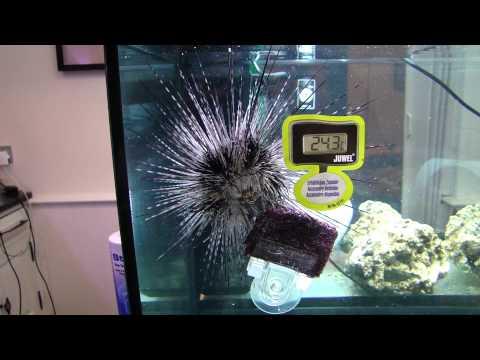 pet sea urchin