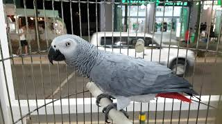 Айя-Напа. Песня Жако (серый попугай).