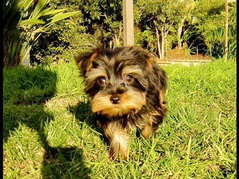 cute-french-bulldog,-cavachon,-yorkie,-teddybear-puppies-for-sale