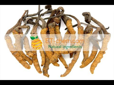 Cordyceps Sinensis extracts powder,mushroom dry extracts, benefits, production organic 2018