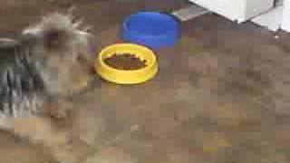 Michaels Jackson Dog Puppy Yorkshire Terrier Teacup Mini