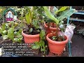 #TIS # TANAM PISANG DALAM POT ! HOW TO GROW BANANA TREE IN POT