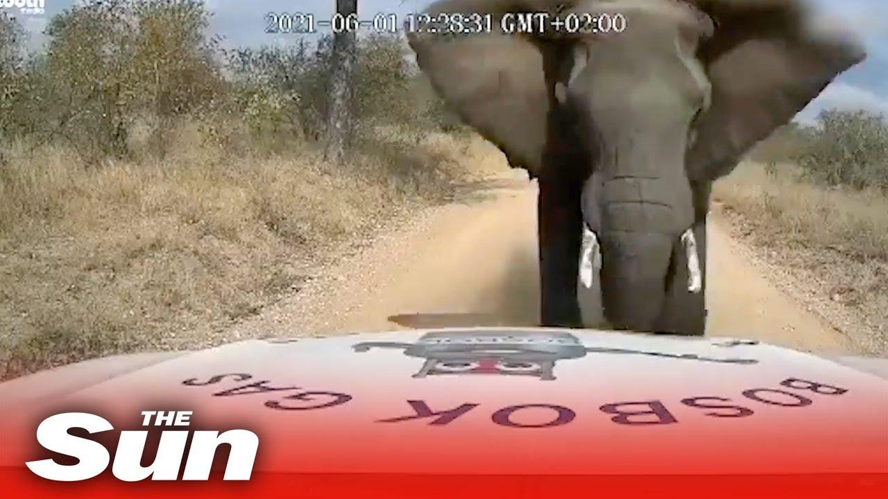 Elefante esmaga capô de picape e mostra força impressionante