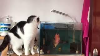 Бойцовая рыба и кот