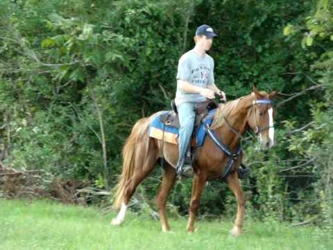 Puppy Dog Gentle Sorrel/Flaxen Tennessee Walking Horse gelding for sale