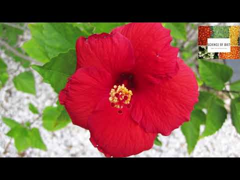 Benefits of chinese hibiscus | Loss weight Quickly Like Never Before