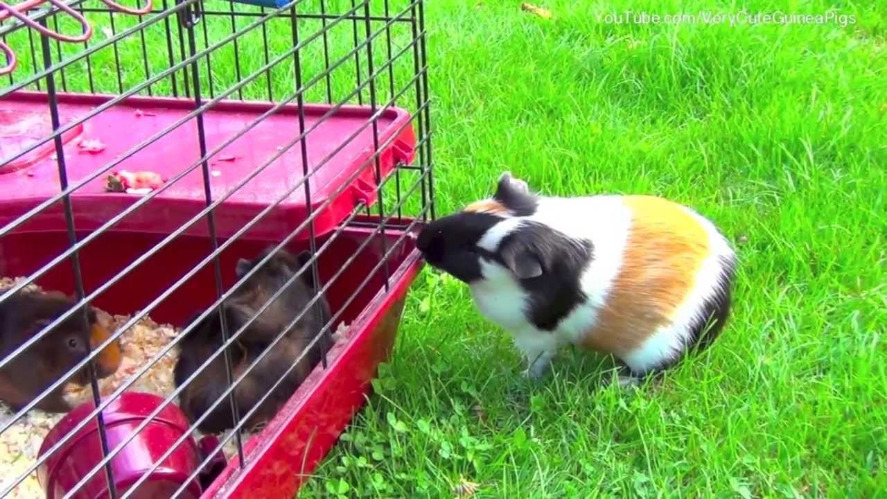 Guinea Pig Male Wants To Mating Female Guinea Pigs -3595