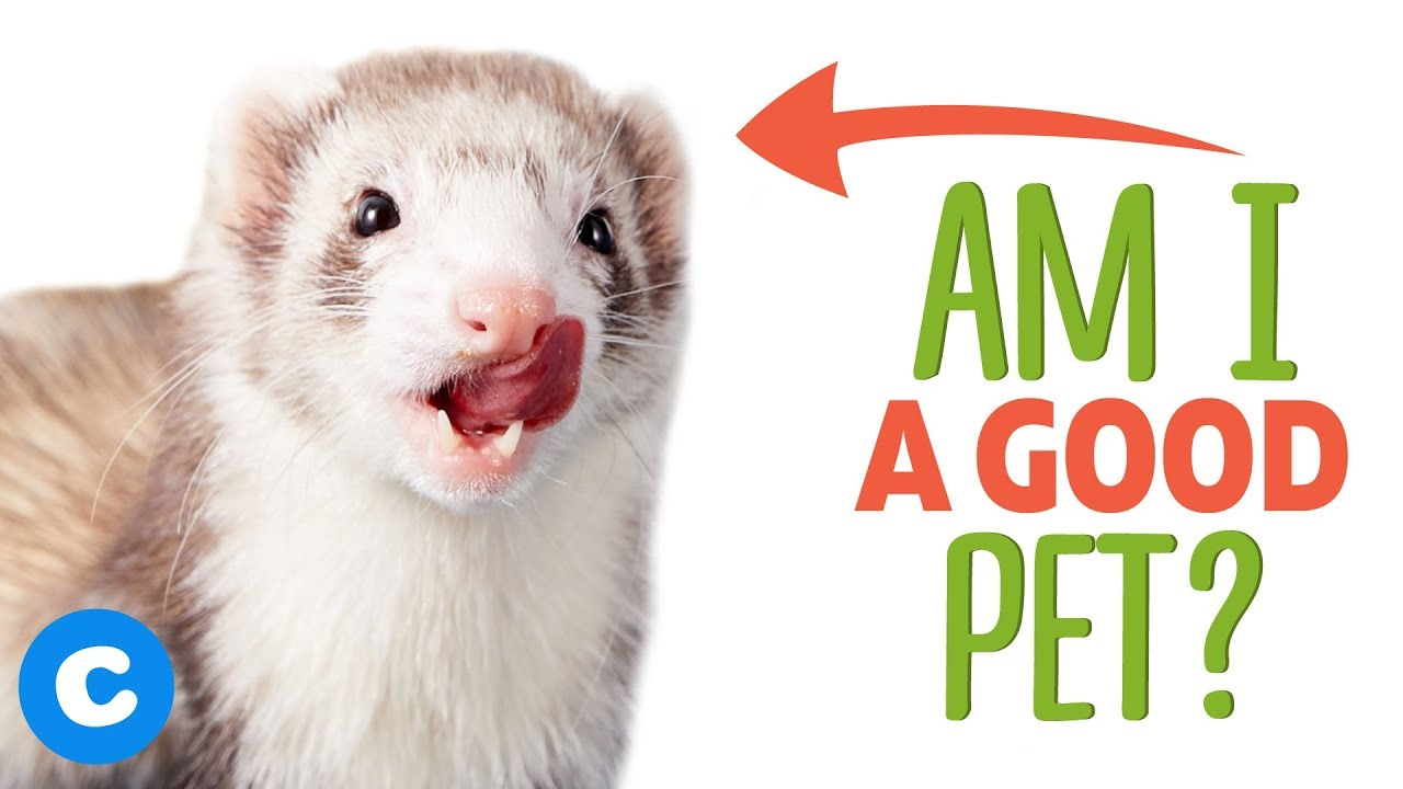 Are Ferrets Good Pets Chewy Youtube