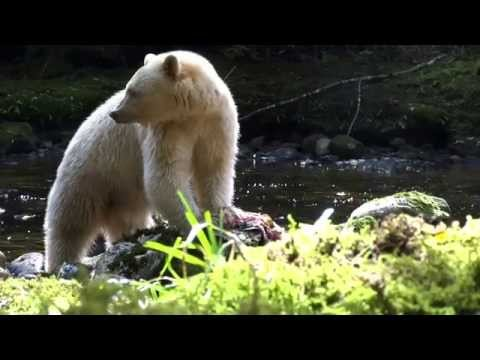 Close Encounters With Canada's Elusive Spirit Bears In British Columbia