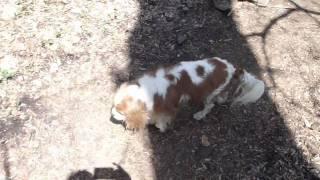 Cavalier King Charles Spaniel In Brandywine Park, Delaware