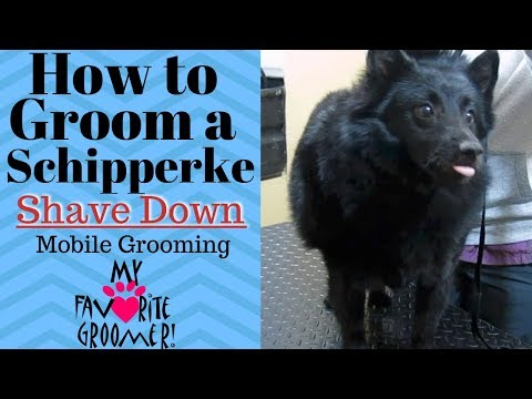 How to groom a Schipperke