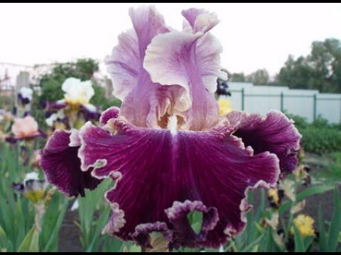 Цветы ирисы 89 фото виды и их особенности, посадка и