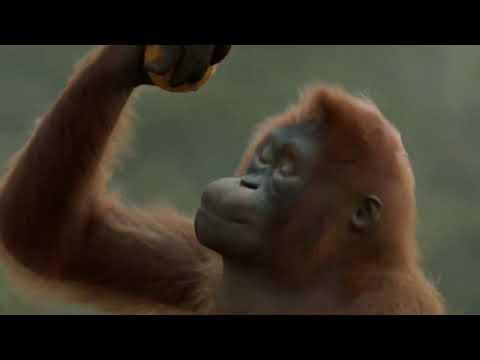 Прикол о том, как весело танцует обезьяна
