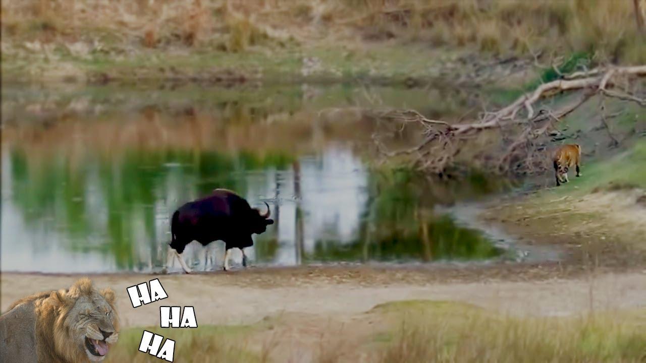 Harimau Kabur Ketakutan Saat Berhadapan dengan 6 Hewan Ini