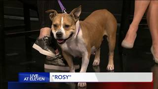 ROSY - Fox 13 Best Friend from the Humane Society of Utah
