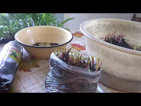 Как вырастить черемшу зимой на окне из луковиц. Неделя первая