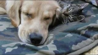 猫がゴールデンレトリバーに抱きついて寝てますzzz... A cat embraces i...