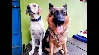 Jarman Shefad Dog & Labrador Dog Fight...