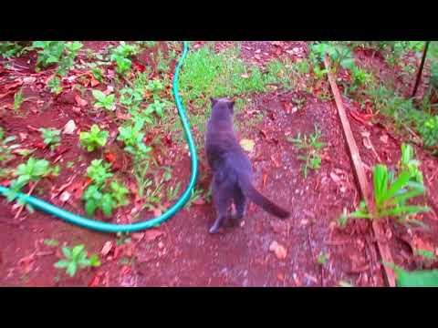 Our Russian Blue Cat takes a jungle walk to the cabin