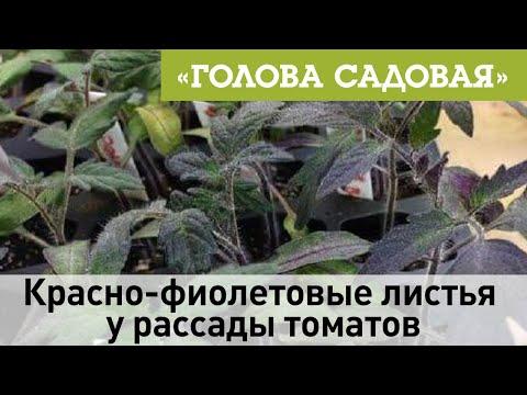 Голова садовая - Красно-фиолетовые листья у рассады томатов | садоводство | фиолетовые | участок | томатов | садовая | рассады | рассада | семена | огород | листья