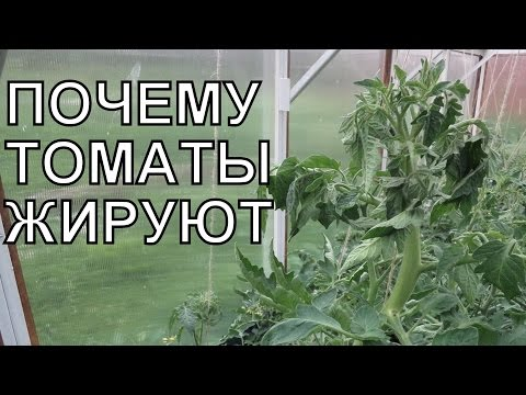 ЖИРОВАНИЕ ТОМАТОВ: почему помидоры жируют?