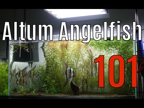 🔥 How To Keep Altum Angelfish 101 The Basics 4K