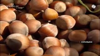 В текущем году в Азербайджане будут заложены новые сады лесного ореха