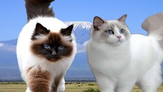 Birman vs Ragdoll Cat  Difference Explained