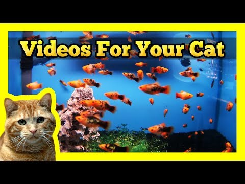 Videos for your Cat – Spotted Orange Mollies in a Fish Tank