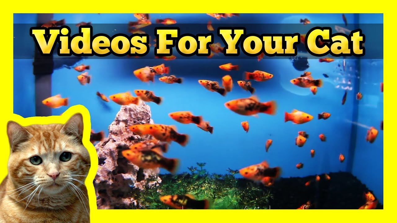 videos for your cat spotted orange mollies in a fish