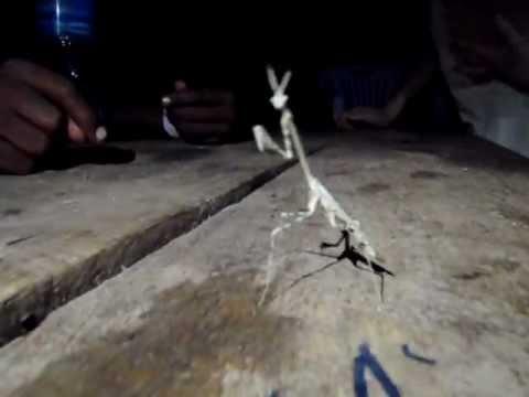 Praying Mantis at Lake Natron, Tanzania
