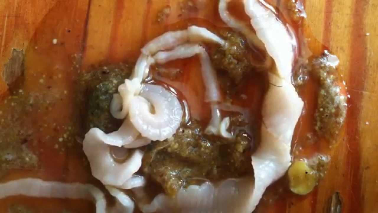 tapeworm platyhelminthes cestoda lintworm bandwurm