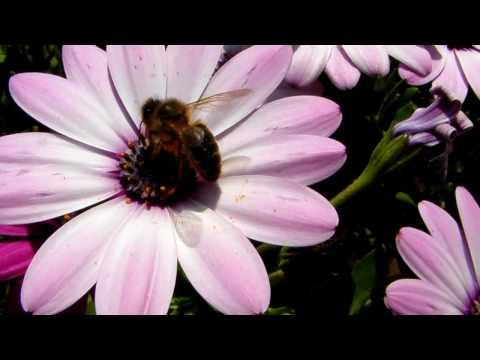 Recolectando polen de las flores de YouTube · Alta definición · Duración:  1 minutos 9 segundos  · Más de 1.000 vistas · cargado el 21.10.2014 · cargado por ELDEBATE NOTICIAS